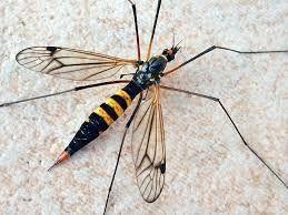 Schnaken Die Schnaken stellen eine Familie der Zweiflügler dar. Innerhalb dieser werden sie normalerweise den Mücken zugeordnet, obwohl ihre exakte Position im System bislang nicht geklärt ist