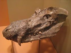 Fossil skull of Cynognathus crateronotus. Cynognathus is an extinct genus of large-bodied cynodont therapsid that lived in the Early and Middle Triassic. It is known from a single species, Cynognathus crateronotus. Cynognathus was a meter-long predator closely related to mammals and had an almost worldwide distribution. Fossils have so far been recovered from South Africa, South America, China and Antarctica.