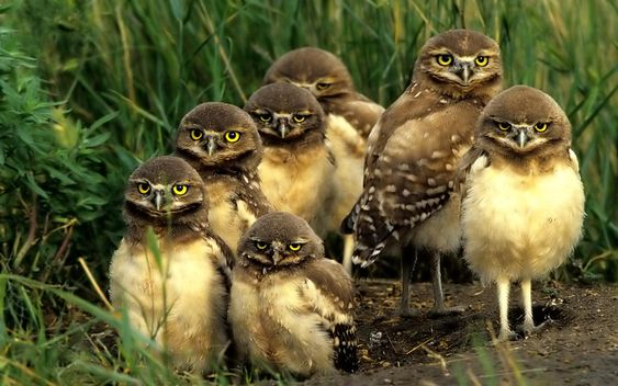 owls | ... Life // All Animals // Northern Spotted Owls | Wallpapers 1680x1050