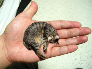 猫の雑学 世界最大の猫と最小の猫 ギネス最小の猫 小さすぎ もふぬこ動画 画像 生まれたての子猫 猫 品種 動物 ペット