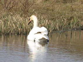 PINING for her loyal mate, a lonely swan swims with an arrow embedded under her wing.