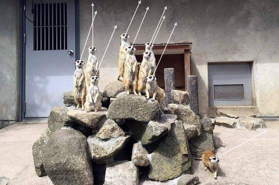 地震時の市川市動植物園のミーアキャット視線20150525