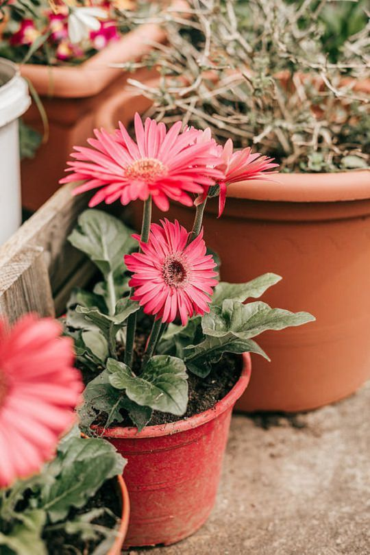 How To Grow Gerbera Daisy Anywhere Gerbera Daisy Care Gerbera