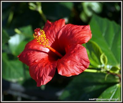 Red Hibiscus Photo by Ulrika