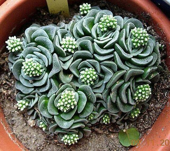 Crassula 39 Celia 39 Family Crassulaceae Plantas Pinterest Beautiful Cactus And Succulents