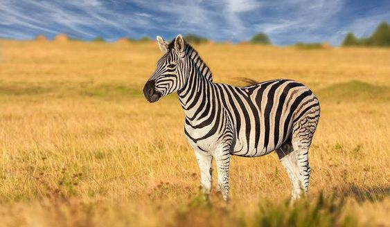 Where Did the Zebra Stripes Come From?
