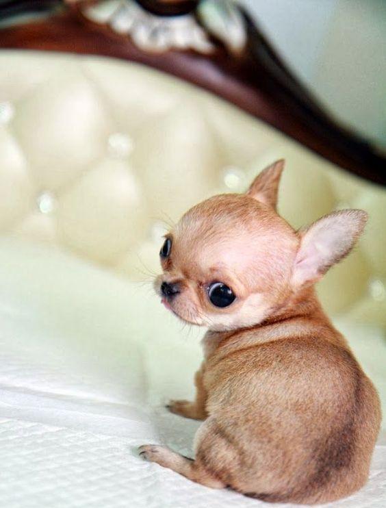 20 chiens absolument minuscules… et absolument craquants! Vous allez vite les adopter…