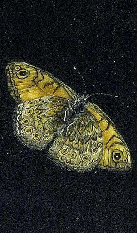 Giovanna Garzoni (Two Butterflies)
