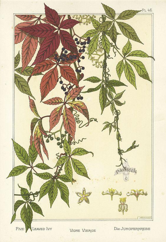 """illustration française : Eugène Grasset, """"La Plante et ses applications ornementales"""", 1896, p. 46, vigne vierge, feuillage:"""