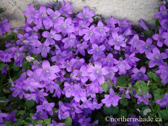 Lavender Bellflowers