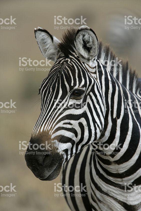 Plains zebra, Equus quaggai royalty-free stock photo
