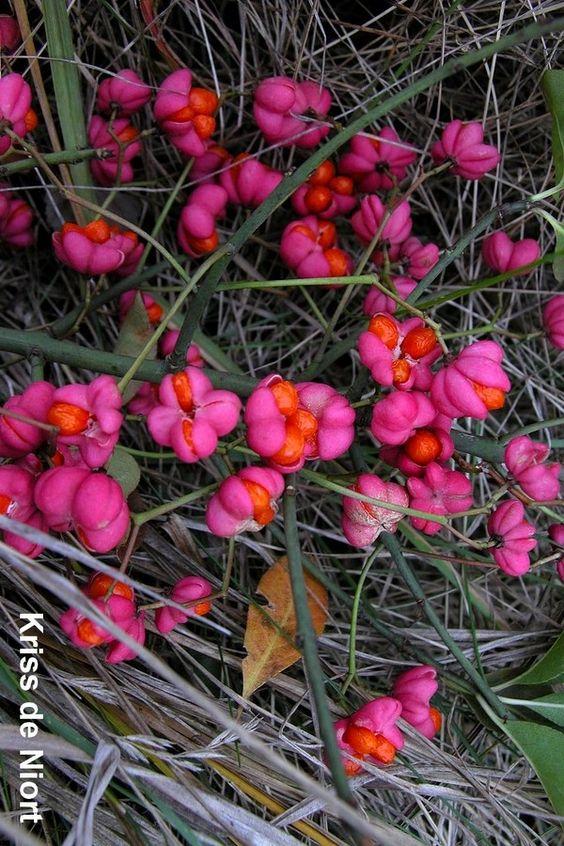 http://faaxaal.forumgratuit.ca/t3409-photo-de-celastracee-fusain-d-europe-bonnet-de-pretre-ou-d-eveque-euonymus-europaeus-european-spindle-common-spindle