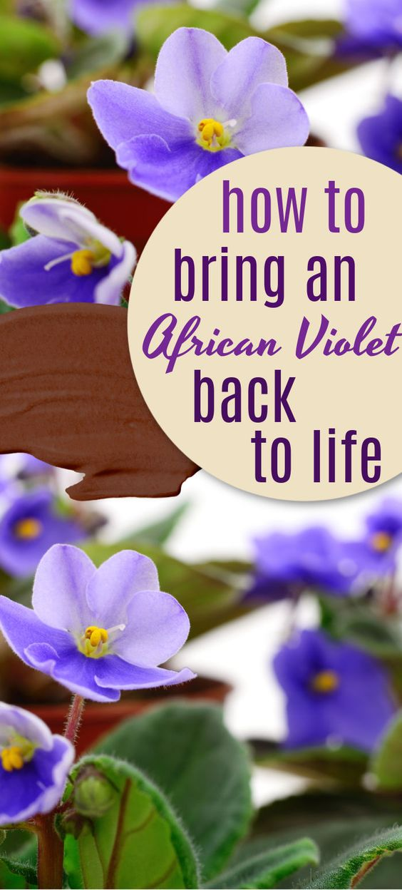 How To Grow African Violets In 2020 African Violets African Violet Care African