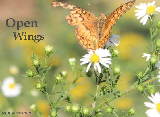 a butterfly with open wings on white daisy flowers