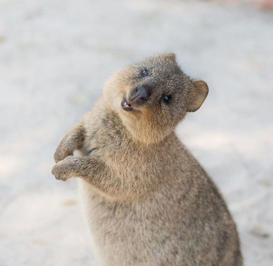 30 Funny Quokka Pictures That Will Make You Book a Flight to Australia to  See Them - | Cute animals, Quokka, Baby animals