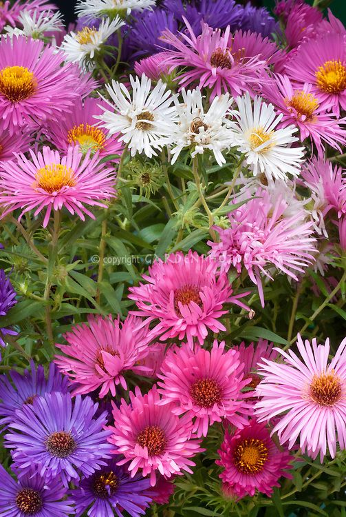 Aster Novae Angliae Mixed Mixture Variety Of New England Asters Colors Cultivars Together In Autumn Fall Bloom Planting Flowers Flower Stock Photography Plants