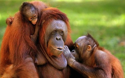 Orangutan A-Me (C) is seen with her children, a newborn (L) and another of five years (R), at the zoo of Guadalajara, Mexico.