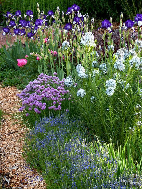 Create a colorful and fragrant spring garden by mixing flowering herbs and perennials that bloom together in May and June. In this border, chives and lavender bloom in front of Amsonia, bearded iris, and peony.