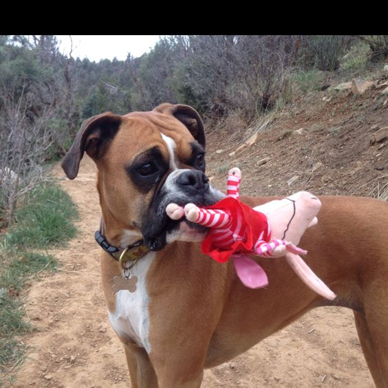 We absolutely must bring our pig on our hike. (boxer)
