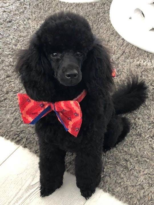 Pin By Dee Cochrane On Poodle Magic Poodle Haircut Cute Funny