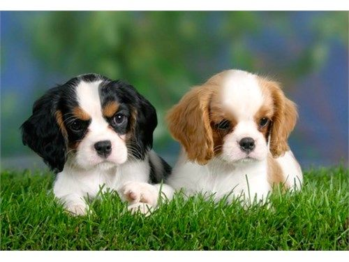 Cavalier Puppies For Sale 1 300 Recycler Com King Charles Spaniel Cavalier King Charles Spaniel Tricolor Cavalier King Charles Spaniel