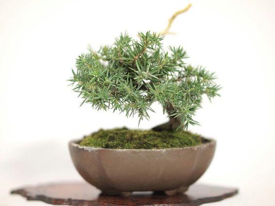 """~ """"Baby"""" Bonsai 132 ~ Nice tree ~"""
