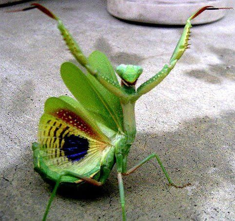 Wow!!  I never seen a Praying Mantis in this way before, and I never seen all the colors they have.