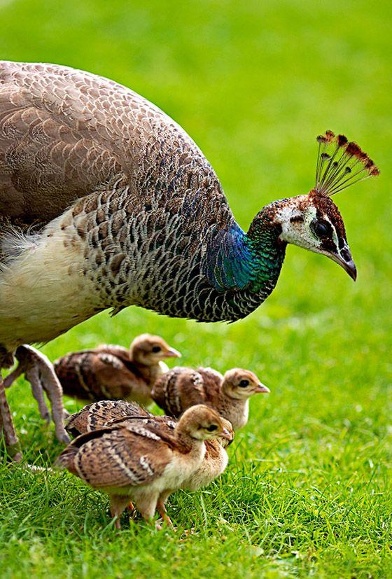 Mama Peacock and chicks
