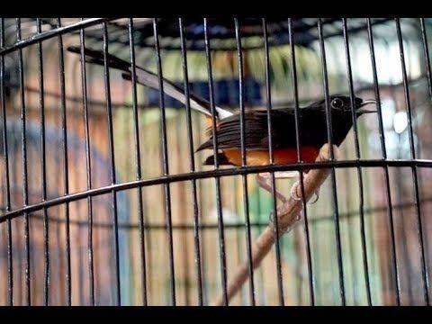 100 Cocok Untuk Memikat Murai Batu Agar Langsung Nyaut Dan Gacor Murai Burung Binatang