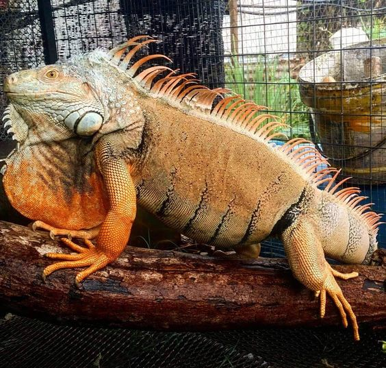 Best 25 Big Iguana Ideas On Pinterest