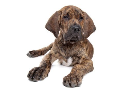 Fila Brasileiro Puppies For Sale If You Re Searching For Fila Brasileiro Puppies For Sale Then Say He Dog Breeds Medium Family Dogs Breeds Unique Dog Breeds