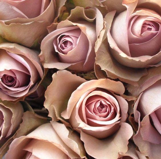 Amnesia rose variety - lovely for #wedding flowers. Has a vintage appeal that's hard to resist!