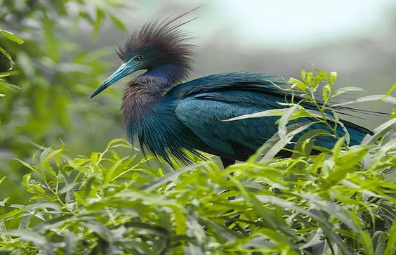 ------------------------- ------------------------- image source : pinterest.com The little blue heron (Egretta caerulea) is a small heron. It breeds in the Gulf states of the US, through Central America and the Caribbean south to Peru...