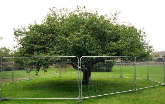 Η εντυπωσιακή μηλιά του Newton στο Lincolnshire της Βρετανίας