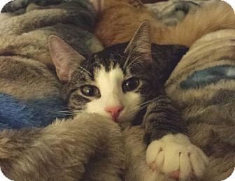 STILL AVAILABLE***Orlando, FL - Domestic Shorthair. Meet Magee a Cat for Adoption.