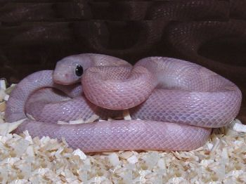 Is breeding corn snakes a good idea?
