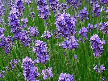 how to grow and care for lavender in containers outside ideas pinterest growing lavender. Black Bedroom Furniture Sets. Home Design Ideas