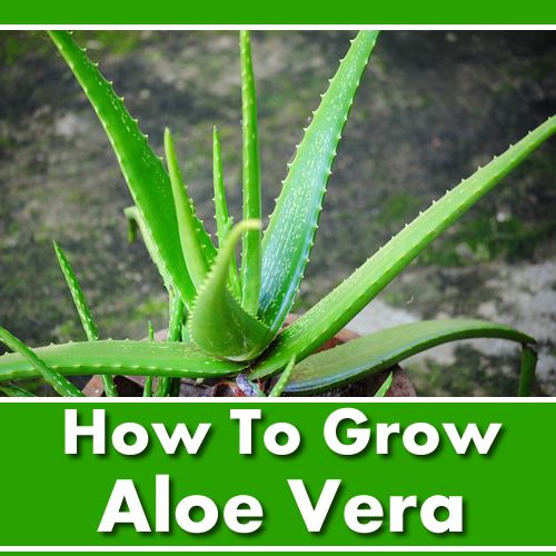 how to grow aloe vera very easy to grow and maintain gardening homestead lifestyle. Black Bedroom Furniture Sets. Home Design Ideas