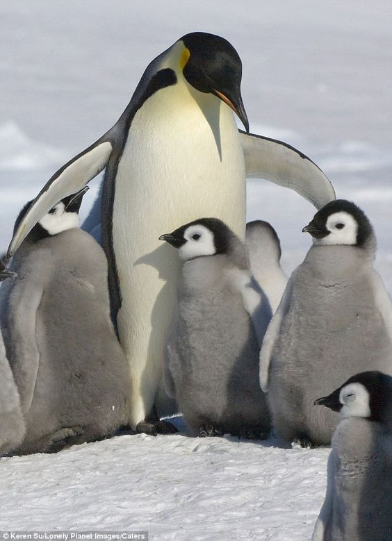 I'll keep you warm: A penguin keeps her young close in the frozen wastes of Antarctica