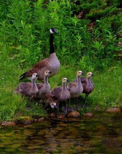Canada Goose with Goslings © Ashley Hockenberry