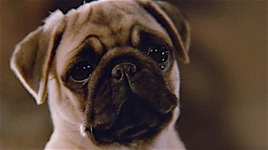 Best In Shows The 100 Most Iconic Dogs In Movies Cute Pug