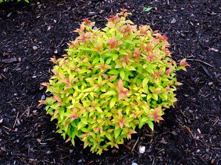 Goldflame spirea zone 3 h 24 36 w 24 36 full sun low for Small flowering shrubs for full sun