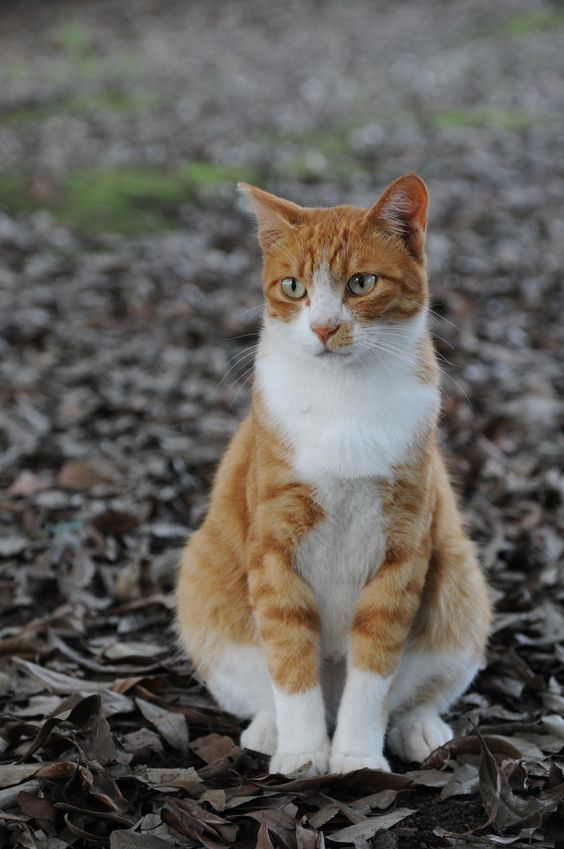 Orange tabby cat...looks so much like my very first kitty Pepe.