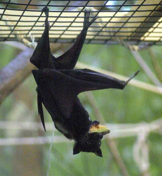 echolocation the world through a bat's Although some bats make the squeaks needed for echolocation with their mouths , many send out sounds through their noses bats that echolocate with their.