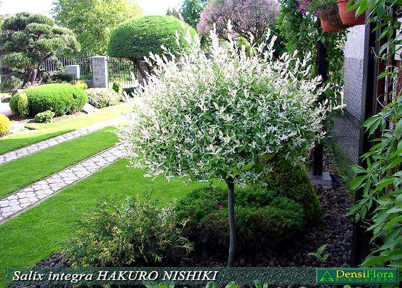 salix integra hakuro nishiki landscaping ideas. Black Bedroom Furniture Sets. Home Design Ideas