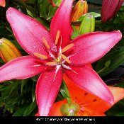 Asiatic Lily - got some of these for my garden