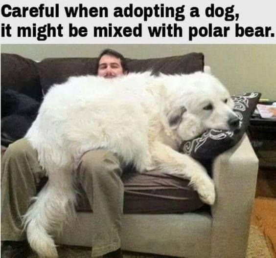 We had a Kuvasz dog when I was a kid...this guy looks he did or a Great Pyrenees and yeah...they are that big!