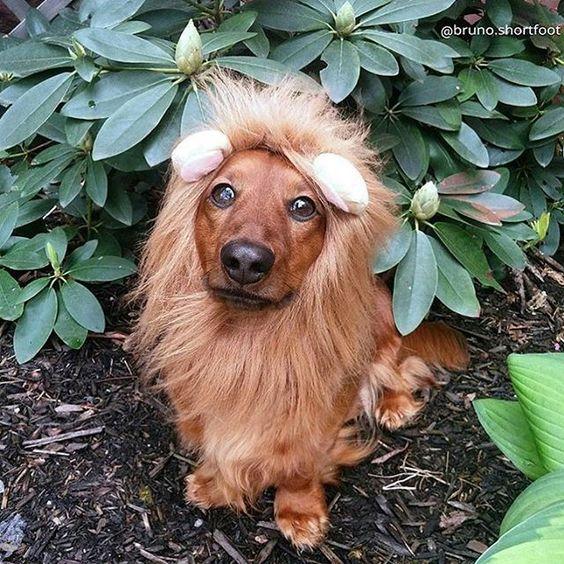 I Love Dachshunds On Instagram Halloween Costume Inspiration Via Bruno Shortfoot Rwar Hal Dachshund Halloween Costumes Weiner Dog Costume Dog Lion Costume