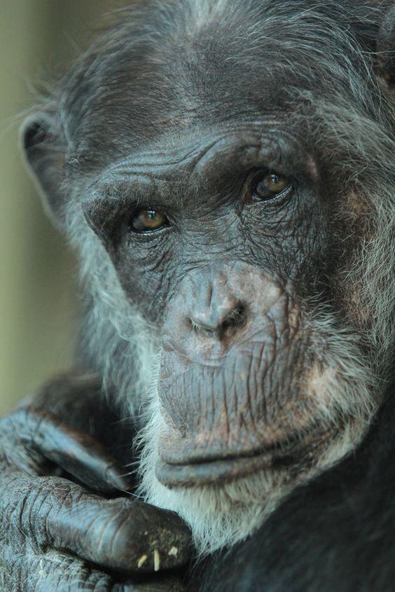 Chimpanzee by K. Verhulst