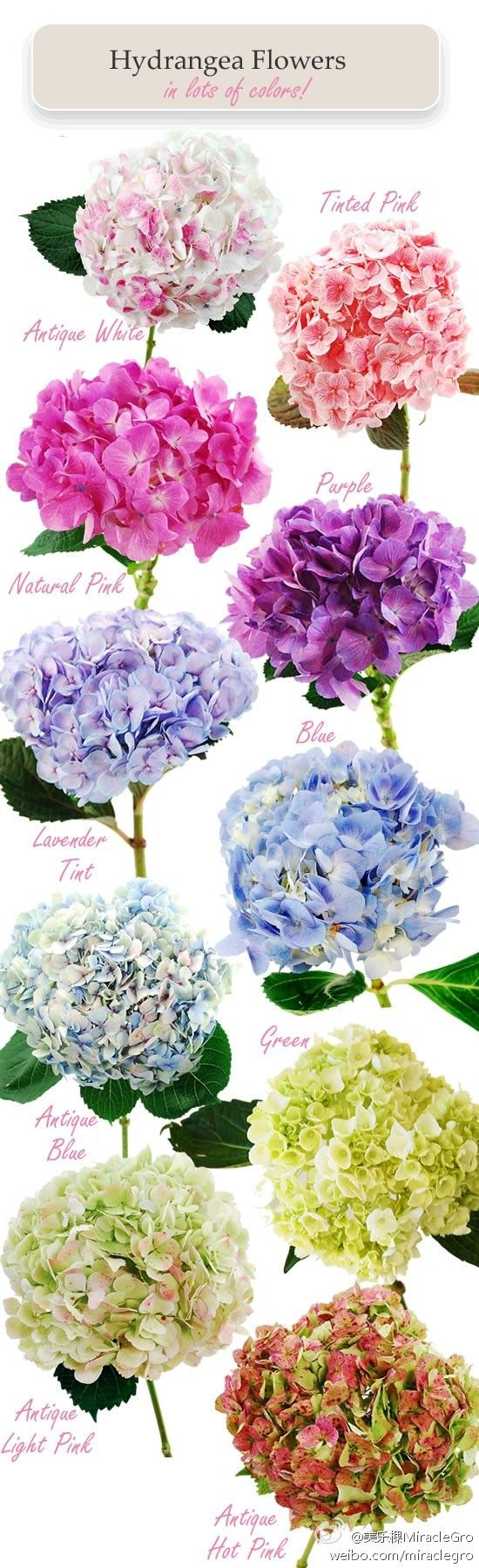 Hydrangea All Of Theses For You Mama Hydrangea Colors Beautiful Flowers Flower Garden